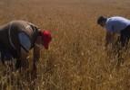 Soma'da dolu yağışı  tarım arazilerine zarar verdi
